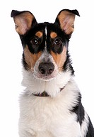 Domestic Dog, Smooth Collie, adult, with collar, close_up of head