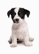 Domestic Dog, Jack Russell Terrier, puppy, sitting