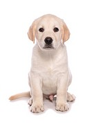 Domestic Dog, Yellow Labrador Retriever, puppy, sitting