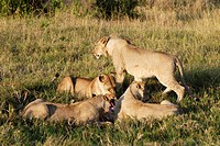 Pride of lions Panthera leo feeding on wilderbeest kill  Maasai Mara National Park, Kenya, East Africa