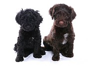 Domestic Dog, Portuguese Water Dog, two puppies, sitting