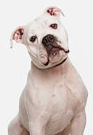 Domestic Dog, Dorset Old Tyme Bulldogge, adult male, close_up of head, with collar