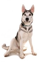 Domestic Dog, Northern Inuit Dog, adult, sitting, with collar and tag