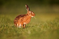 European Hare Lepus europaeus adult, feeding, sitting on grass in field, Midlands, England, may
