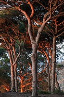Mediterranean coastal Pine Pinus sp forest habitat in evening sunlight, Tangier, Morocco, april