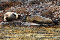 Coast, sea, seashore, sea bulls, Pinnipedia, seals, Scotland, Summer isles, rest, lie, animals