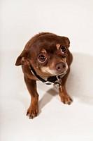Humble Chihuahua