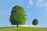Two lime-trees in blooming grassland at spring, Kanton Zug, Switzerland