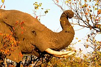 African Elephant Loxodonta africana, eating mopane leafs  , Kruger National Park, South Africa