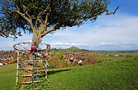 The holy thorn tree on Wearyall Hill with Glastonbury Tor in the distance, Glastonbury, Somerset, England