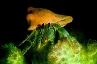 Reef hermit crab, Dardanus lagopodes fluoresces orange and green, while its home shell is orange  Perched on top of Pocillopora coral   Tondoba Bay, B...