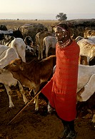 Kenya, Amboseli National Park, Saruni´s village. Maasai man with a herd of cattle