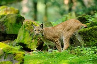 Eurasian lynx, lynx lynx, Wildpark Alte Fasanerie, Hanau, Hesse, Germany, Europe