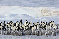 Antarctica, Snow Hill Island. Emperor Penguin Aptenodytes forsteri colony. Iceberg in the background.