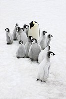 Emperor Penguin Aptenodytes forsteri parent with chick on ice, Snow Hill Island, Antarctica