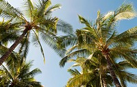 USA, Hawaii, Oahu, Waikiki.  Low angle view of palm trees against blue sky