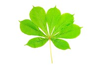 Group of chestnut green leaves