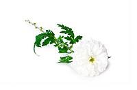 Chrysanthemum mums isolated on white