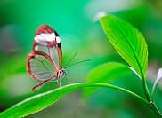 Glasswing butterfly on green leaf