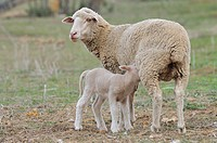 Merino sheep and lamb, Badajoz province, Extremadura, Spain