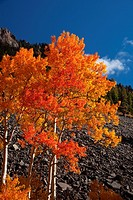 A blazing Aspen during autumn in the San Juan Mountains of Colorado