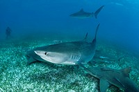 Tiger Shark and Lemon Sharks, Galeocerdo cuvier, Negaprion brevirostris, Caribbean Sea, Bahamas