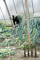 Germany, Upper Bavaria, Weidenkam, Mature woman working in greenhouse of leek