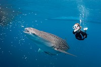 Whale Shark and Freediver, Rhincodon typus, Cenderawasih Bay, West Papua, Indonesia