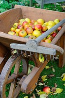 Autumnal garden scene with windfall apples in an antique wooden wheelbarrow with lawn rake, Norfolk, UK, October