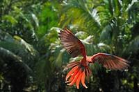 Latin America, Honduras, Bay Islands, Roatan, Scarlet macaw parrot flying