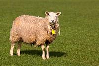 Sheep looking at you