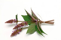 Purple giant hyssop _ korean mint _ spice _ herb _ medicinal plant _ Agastache rugosa _