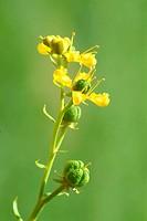 Wine rue _ medicinal plant _ herb _ spice _ Ruta graveolens _ Ruta comune