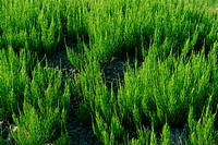 Common horsetail _ medicinal plant _ outdoors _