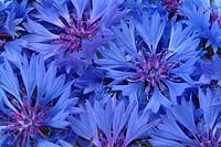 Centaurea cyanus _ Cornflower _ medicinal plant _ Fiordalismo vero _