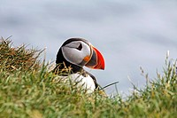 Puffin at Latrabjarg, West Fjords, Iceland
