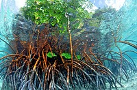 Mangrove, Rhizopora sp , in sand patch, U Province, Pohnpei, Federated States of Micronesia