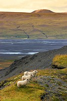 Sheep in the Markarfljot river valley, Iceland