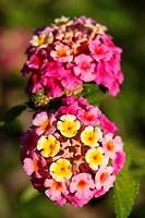 Closeup photo of Lantana Camara flowers