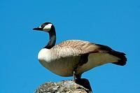 A Canadian goose against blue sky