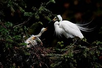 an adult egret is nursing its baby
