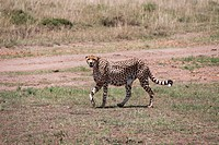 A cheetah in Kenya,Africa