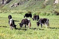 grazing herds on the Tibetan Plateau