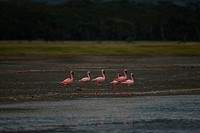 six flamingoes moving alonng the shoreside