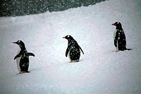 A group of penguins on the snowfield