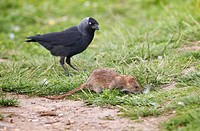 Brown Rat Rattus norvegicus feeding with Jackdaw