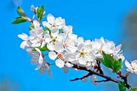 Apple blossom on blue sky