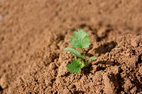 a close_up_up view of the young bud in the tilth