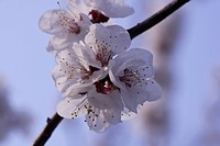 blooming pretty flower of apricot