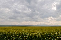 the cole flowers field under cloudy sky